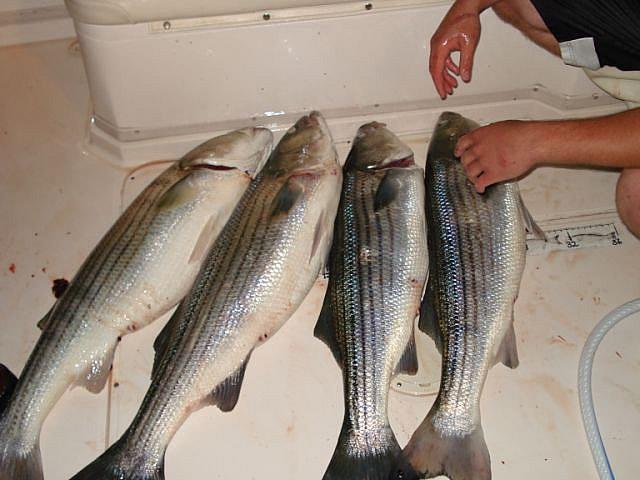 bass fluke fishing
